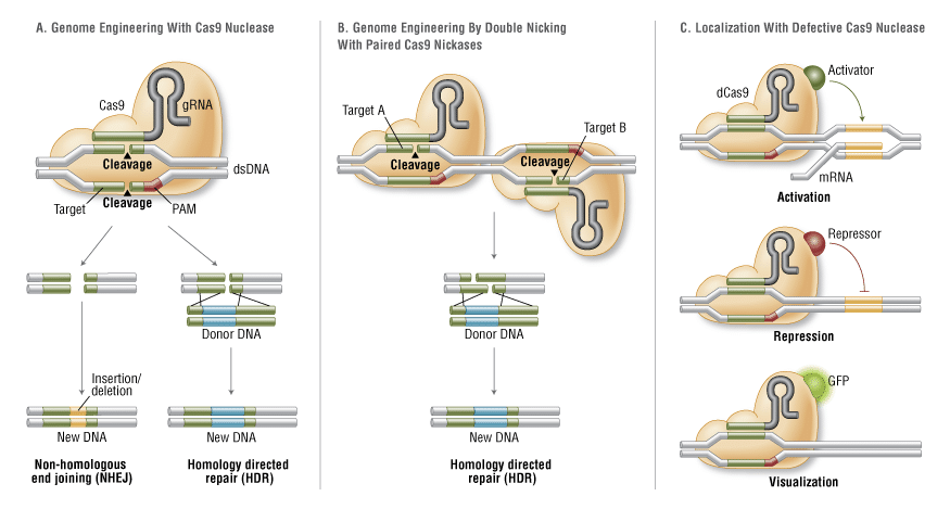 crispr-cas9-explained